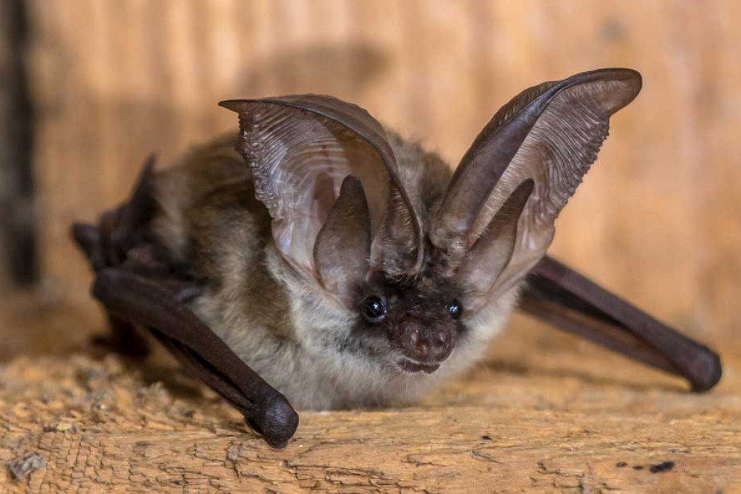Are Bats Roosting in Your Attic?