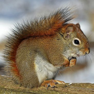 RED/GREY SQUIRRELS